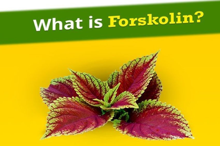 Forskolin Extract - What You Need to Know About This Supplement