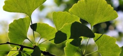 What Are Ginkgo Vitamins and Their Effects