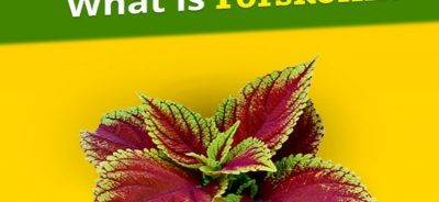 What is forskolin extract